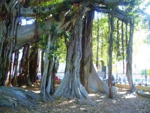 Sicily_Banyan tree 2