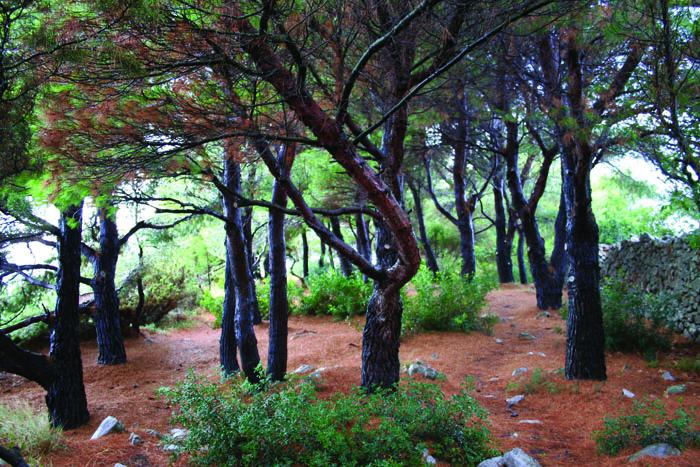 Glistening rain-coated pines