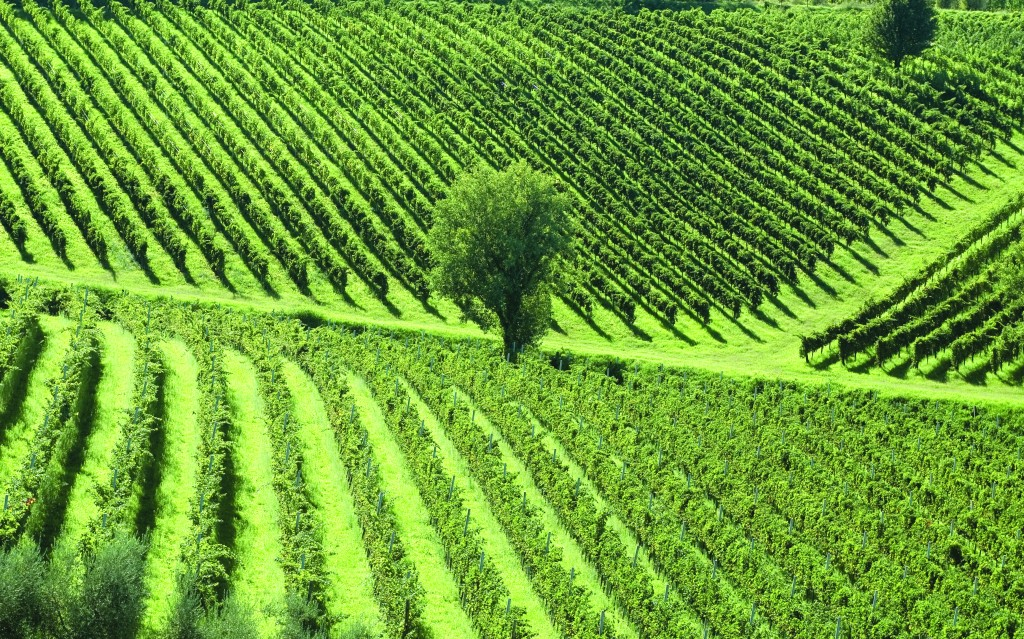 Vineyards angle across the rolling hills of Northern Italy