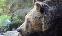 marzipan brown bear