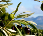 Appassionata: Agostini Olive Oil – 100% made in Le Marche, Italy