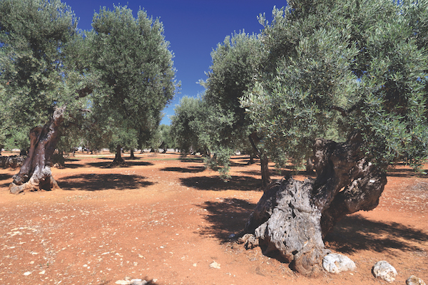 Apulia olive trees - olive oil making region in Bari Province, Italy.