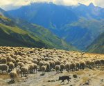 Viewpoint: transhumance in Aosta
