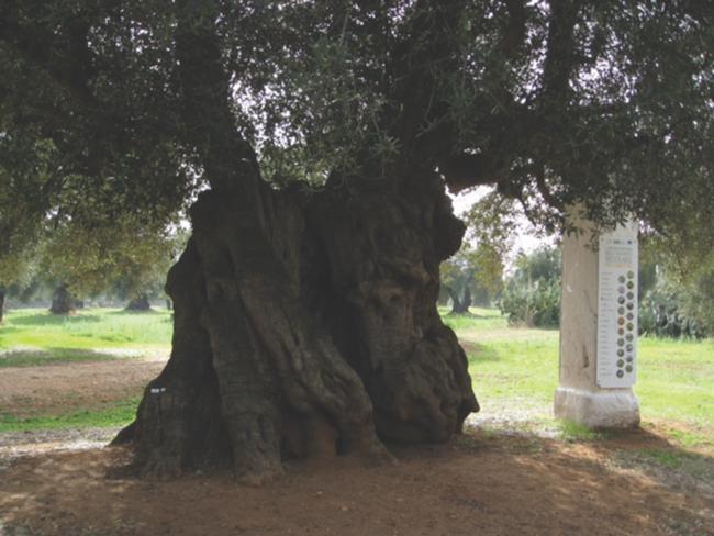 Puglia olive tree