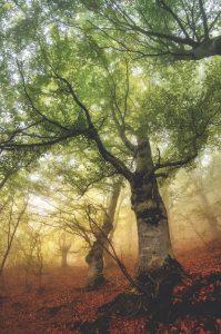 Chestnut forest in Piedmont, Italy