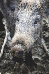 wild boar in italy