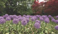 alliums in italy
