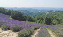 lavender fields in Piedmont