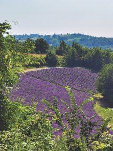 lavender fields, Cuneo